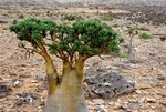 Leaves of bottle trees of Socotra