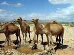 Fortunes of camels
