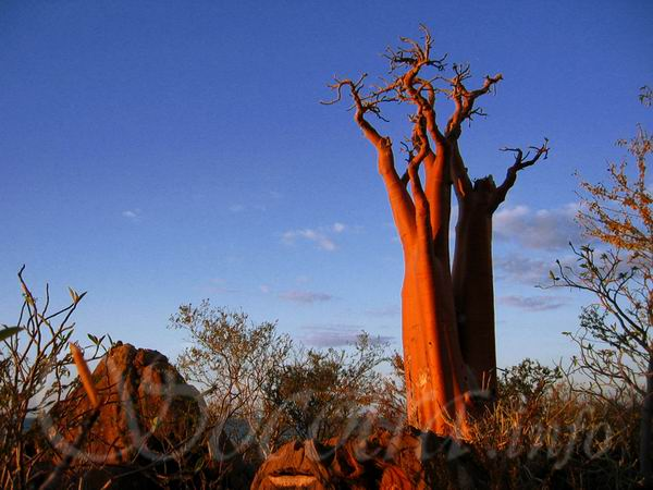 Socotra Picture of the Day: Mystic tree in the last rays