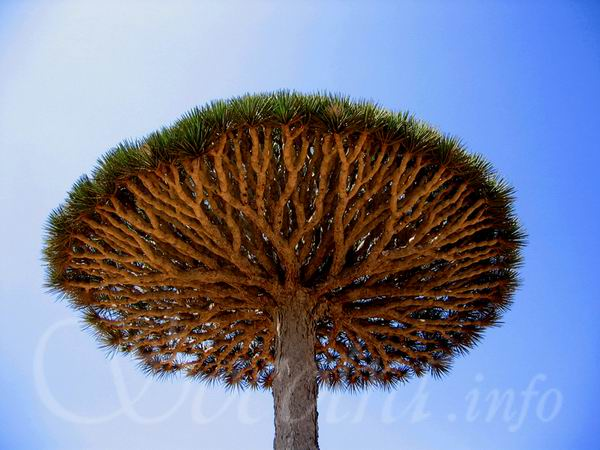 Socotra Picture of the Day: Dragon blood tree