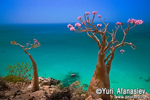 Socotra Picture of the Day: Blooming bottle tree