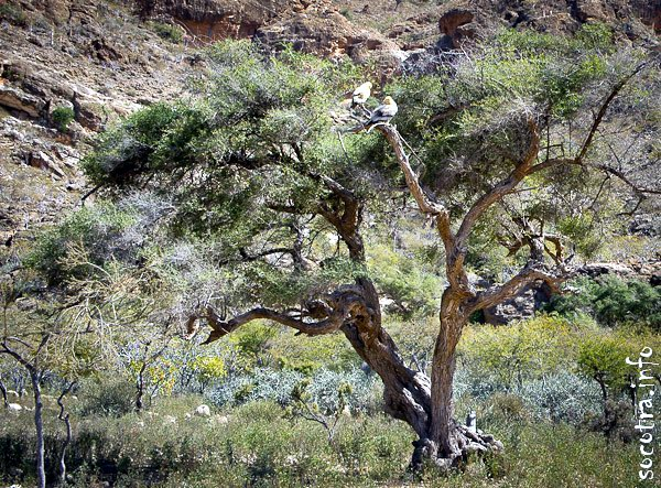 Socotra Picture of the Day: Birds on the tree