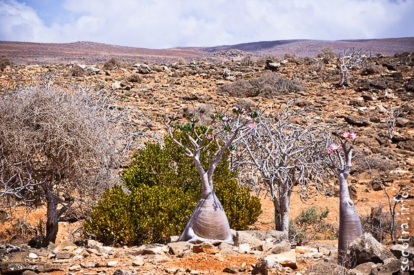 Socotra Picture of the Day: Bushes and trees in the dry season