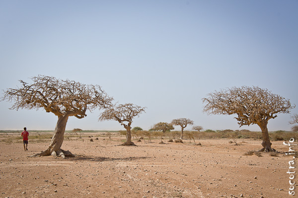 Socotra Picture of the Day: Myrrh tree on the south coast of Socotra