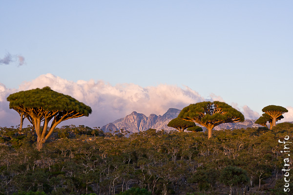Socotra Picture of the Day: dragon tree at sunset
