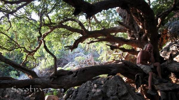 Socotra Picture of the Day: Old tree in wadi Ayaft