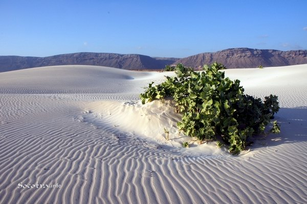 Socotra Picture of the Day: The bush in the desert
