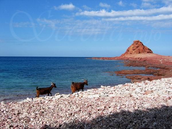 Socotra Picture of the Day: goats of DiHamri