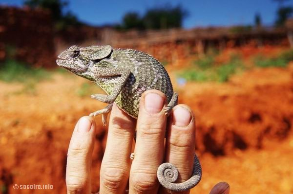Socotra Picture of the Day: chameleon