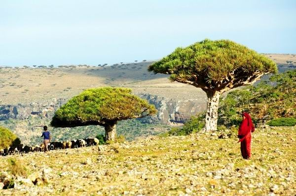 Socotra Picture of the Day: dragon-tree