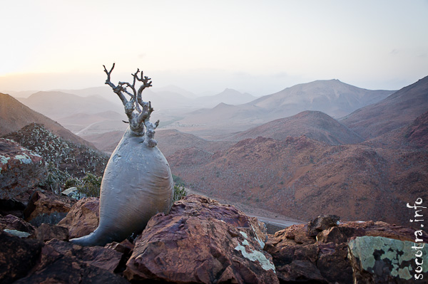 Socotra Picture of the Day: Bottle trees among the rocks