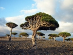 Dragon Tree in Dixam Plateau