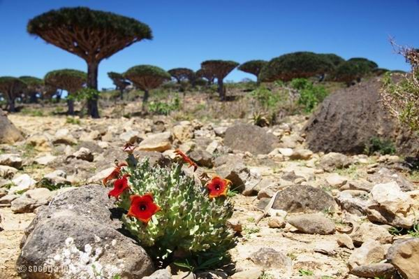 Socotra Picture of the Day: stone rose in Dixam area