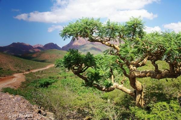 Socotra Picture of the Day: Boswellia tree