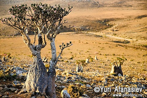 Socotra Picture of the Day: Bottle tree in the plateau Mumi