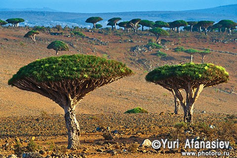 Socotra Picture of the Day: Dragon trees on the plateau Dixam