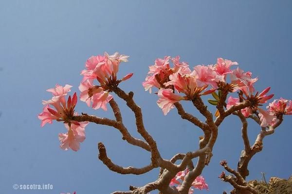 Socotra Picture of the Day: Desert rose
