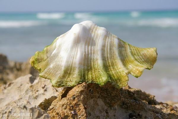 Socotra Picture of the Day: shell