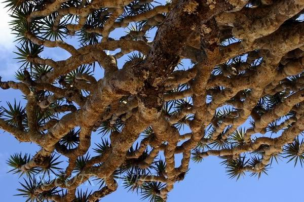 Socotra Picture of the Day: dragon tree branches