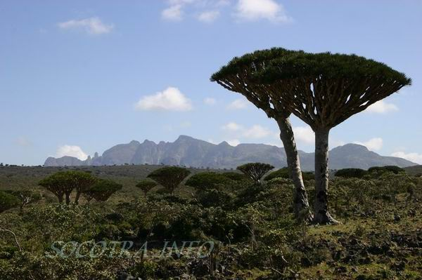 Socotra Picture of the Day: dragon tree in Dixam area