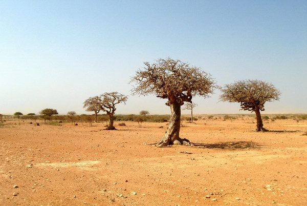 Socotra Picture of the Day: Myrrh trees on the southern coast of Socotra