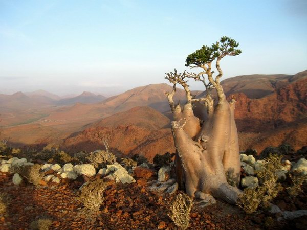 Socotra Picture of the Day: Bottle trees on the plateau Mumi