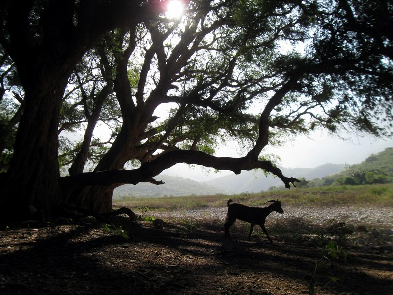 Socotra Picture of the Day: Old tree from wadi Ayft
