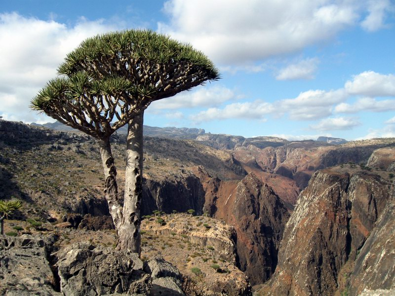 Dragon's blood tree on the island of Socotra