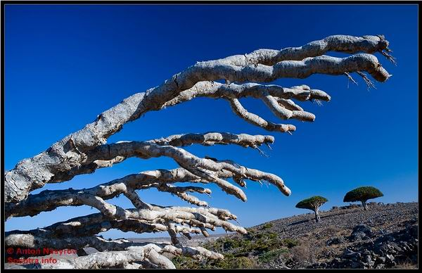 Socotra Picture of the Day: The branches of the dragon tree