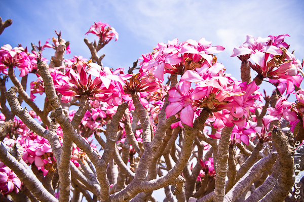 Socotra Picture of the Day: Flowers of bottle tree