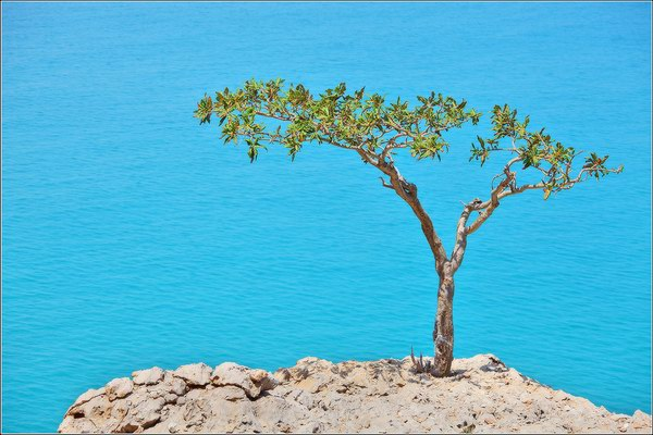 Socotra Picture of the Day: incense tree