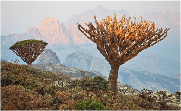 Socotra Picture of the Day: Dry dragoon blood tree
