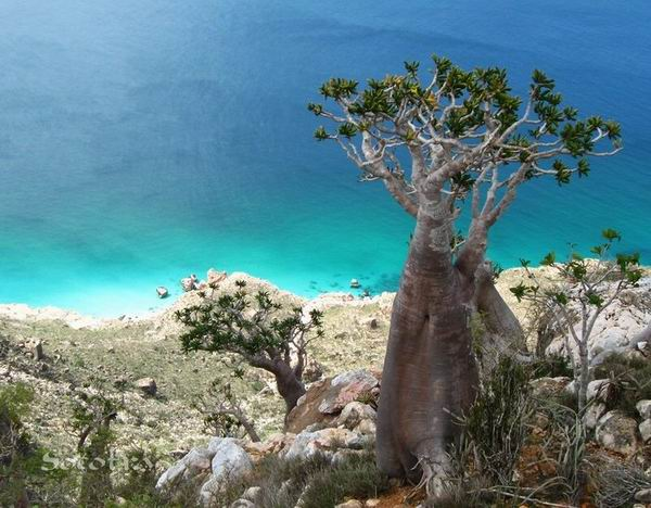 Socotra Picture of the Day: Bottle tree