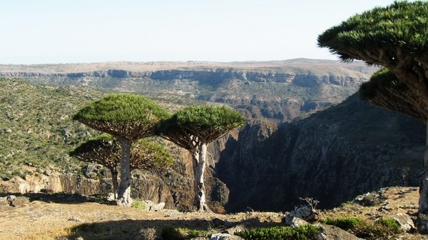 Socotra Picture of the Day: Dragon`s blood tree at Dixam plateau